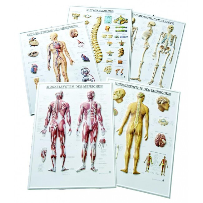 Rüdiger Anatomie Relieftafeln günstig bei Intermedical24 per Fax ...